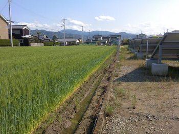 上高柳 (3).JPG