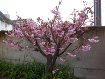 松末の桜.jpg