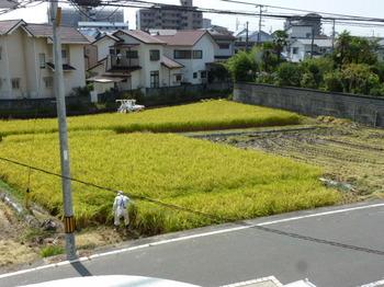 松末稲刈り (1).JPG
