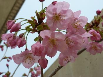 松末陽光桜 (1).JPG