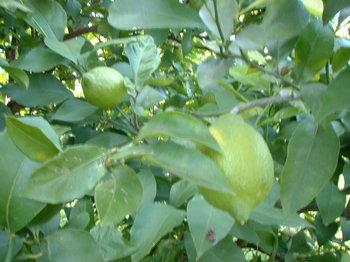緑のレモン.JPG