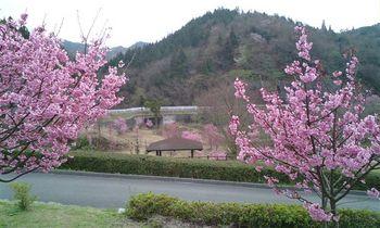 2桜070329.JPG
