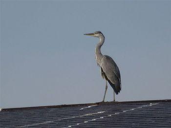 屋根のサギ2.jpg