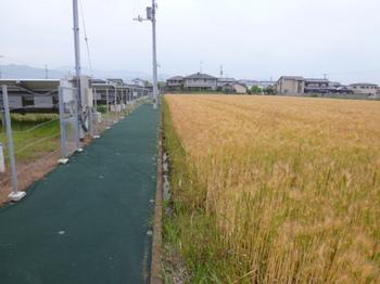 松前のハダカ麦 (2).JPG