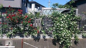 H28年のバラ.jpg