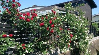H28年のバラ (2).jpg